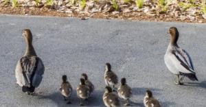 Parramatta Park Ducks