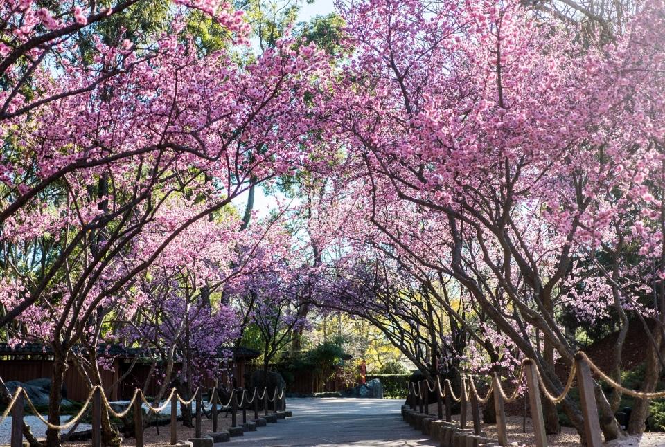 Sydney Cherry Blossom Festival, Auburn